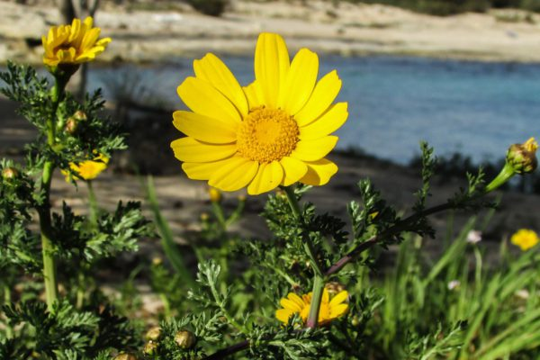 Arnica Ointment:  Does It Decrease Bruising & Improve Healing?